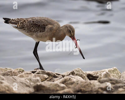 Black-tailed Godwit.Scientific name: Limosa limosa The Black-tailed Godwit is a rare breeding bird in the UK that has suffered from dramatic declines. Classified in the UK as Red under the Birds of Conservation Concern 4: the Red List for Birds (2015). Protected in the UK under the Wildlife and Countryside Act, 1981. Priority Species under the UK Post-2010 Biodiversity Framework. Listed as Near Threatened on the global IUCN Red List of Threatened Species.the Black-tailed Godwit breeds in wet grasslands, and winters on coastal estuaries and marshes, and at inland shallow waters. A sociable bird - Stock Image