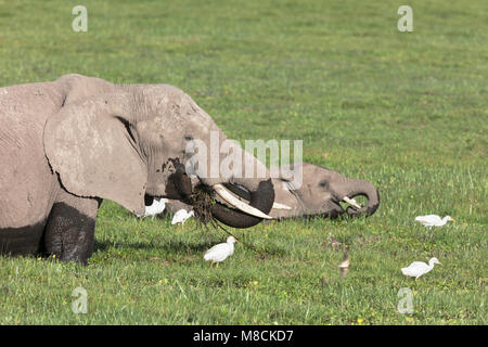 Female African elephant and her calf feeding deep in a swamp with cattle egrets in attendance - Stock Image
