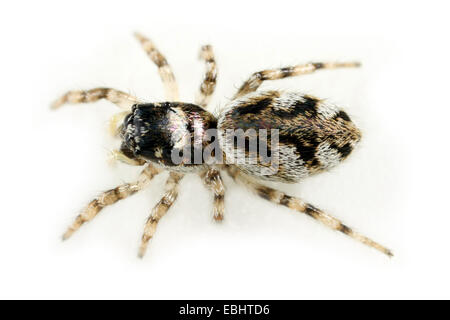 A female jumping spider (Salticus cingulatus) on white background. Jumping spiders are part of the family Salticidae. - Stock Image