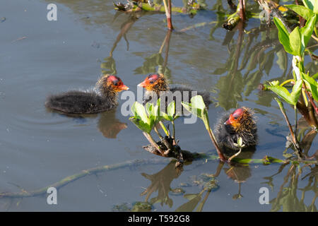 Young coot (Fulica atra) chicks. Three baby coots on the water during spring, UK. - Stock Image
