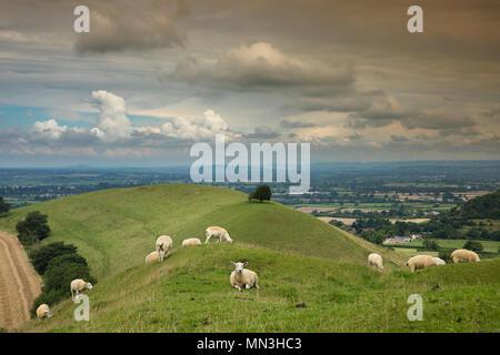 Sheep on Corton Denham Beacon, Somerset, England, UK - Stock Image