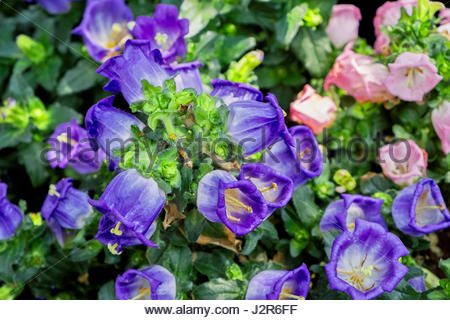 Pyrenean bellflower (Campanula speciosa of the family, Campanulaceae) has bell-shaped, blue flowers on thick, hairy - Stock Image