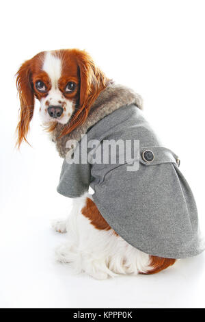 Dog coat. Puppy wearing winter coat. Dog Coat Jacket Pet Supplies Clothes Winter Apparel Clothing Puppy Costume. - Stock Image