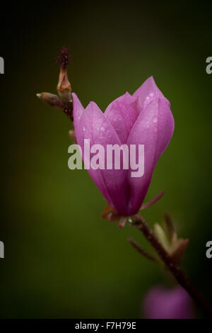 Pink lily blooms in spring - Stock Image