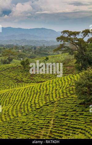 tea plantations near Bwindi, West Uganda, Africa - Stock Image