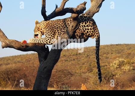 Leopard on a tree Etosha national park Namibia - Stock Image