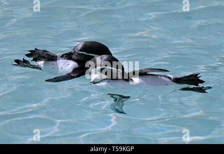 King Penguins (aptenodytes patagonicus) swimming and preening - Stock Image