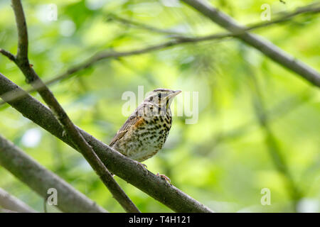 Redwing (Turdus iliacus, musicus). young. Russia, Moscow - Stock Image