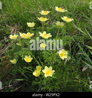 Yellow alpine anemone growing in Obermutten, Switzerland. - Stock Image