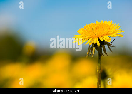 Closeup of dandelion flower in meadow - Stock Image