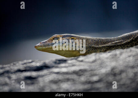 Monitor Lizard, Australia - Stock Image