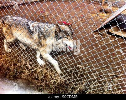Wolf in cage - Stock Image