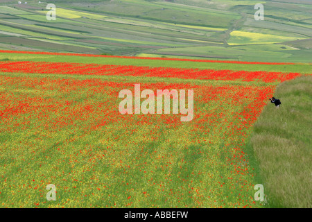 Spectacular annual Wildflower display on the Piano Grande at Castelluccio ,in the Sibillini National Park,Le Marche,Italy - Stock Image