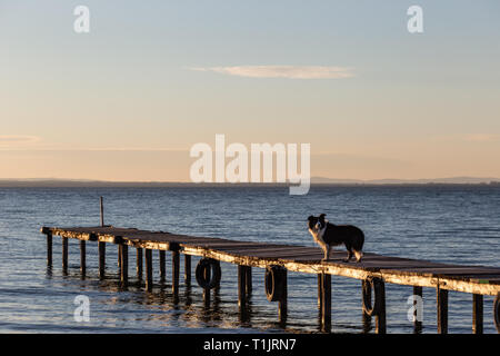 A dog on a pier overa a lake, with warm golden hour light - Stock Image