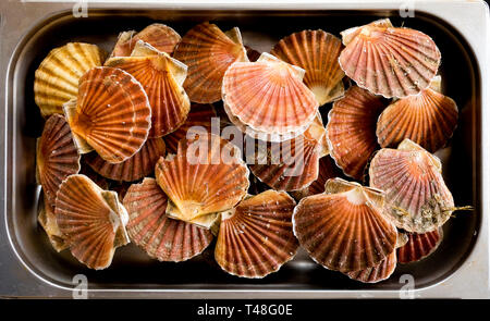 An over head view of twenty scallop shells with scallops inside stacked together in a metal tray - Stock Image
