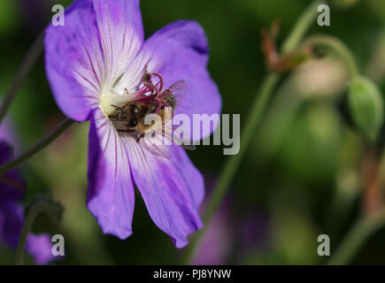 Honey bee collecting nectar pollen from purple flower - Stock Image