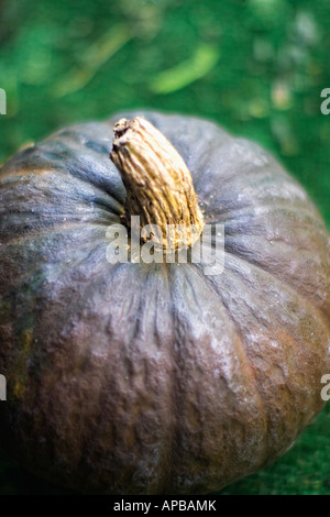Tight shot using selective focus of blue pumpkin - Stock Image