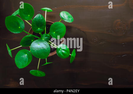 Pilea on Dark Table with Space for Copy - Stock Image