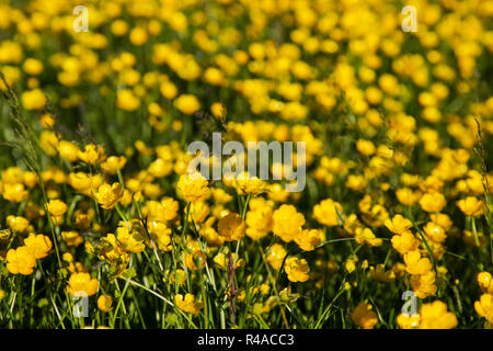 Field full of buttercups and wild grasses - Stock Image