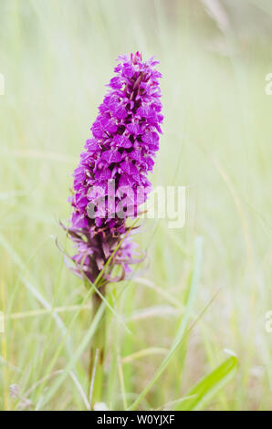 Wild Pyramidal Orchid flower - Stock Image