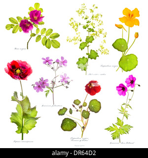 Rosa rugosa, Alchemilla mollis, Papaver somniferum, Geranium palmatum & G. 'Ann Folkand, Tropaeolum majus 'Princess - Stock Image