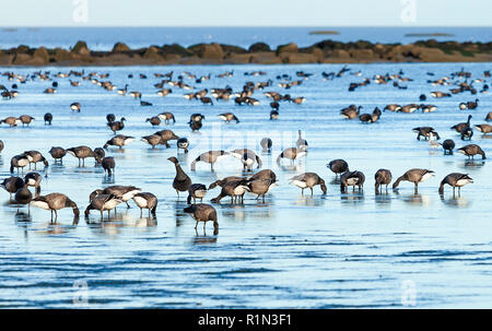Flock of Brent Geese feeding at low tide in the mud flats of the Thames Estuary, Shoeburyness, Essex, UK. - Stock Image