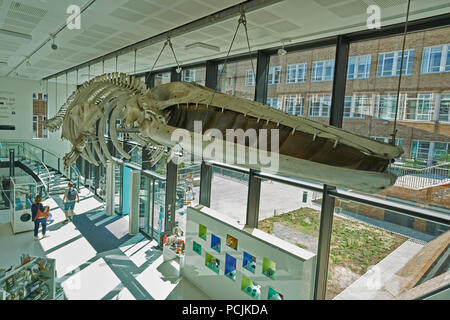 fin whale skeleton   zoology museum cambridtge - Stock Image