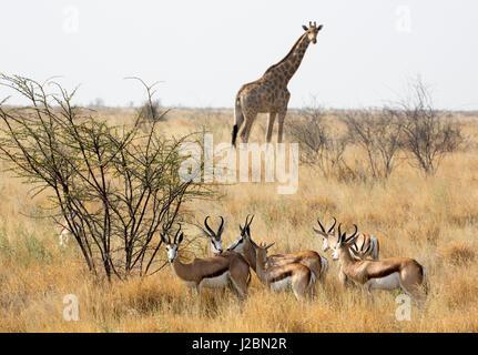 Africa, Namibia, Etosha National Park. Giraffe and springboks. Credit as: Wendy Kaveney / Jaynes Gallery / DanitaDelimont.com - Stock Image