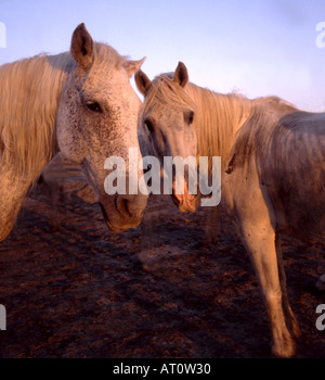 White horses in Camargue Provence France - Stock Image