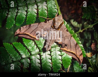 A hawk moth, resting on a fern leaf, Kinabalu Park, Sabah, East Malaysia - Stock Image