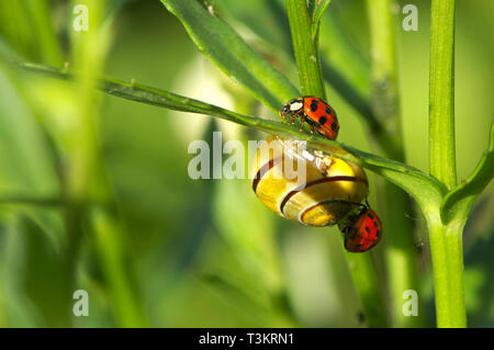 Two Asian Lady Beetles (Coccinellidae) with a common Garden snail (Cornu aspersum) on a plant leaf in the garden. - Stock Image