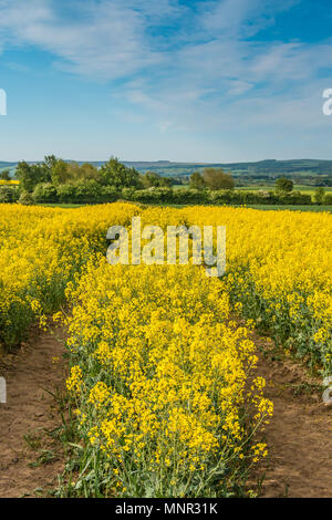 A field of flowering Oil Seed Rape crop with tramlines under a blue sky, with copy space - Stock Image