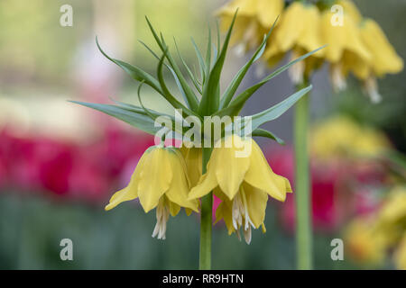 Fritillaria imperialis, commonly known as crown imperial, is a bulb native to mountainous regions in Turkey, western Iran and eastwards to Kashmir. It - Stock Image