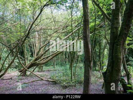 Fallen tree in woods - Stock Image