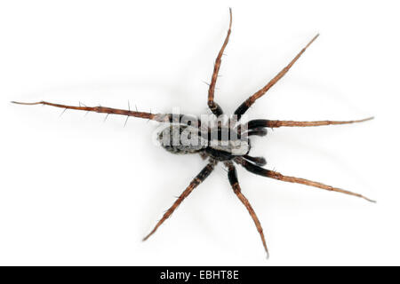 Male Pardosa lugubris spider on white background. Family Lycosidae, Wolf spiders. You can see that this spider has - Stock Image