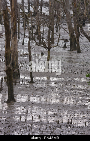 Mangrove swamp with pneumatophores - Stock Image