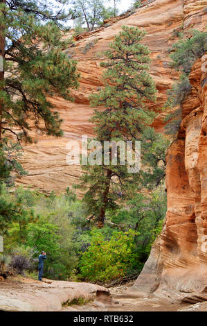 Dwarfed by a Ponderosa pine, a visitor takes a picture at the foot of Navajo sandstone cliffs, Zion National Park, Utah, USA. - Stock Image