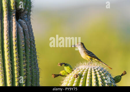 A Brown-crested Flycatcher (Myiarchus tyrannulus) perches before bringing an insect to its nest in a Saguaro  (Carnegiea gigantea). (Arizona). (Arizon - Stock Image