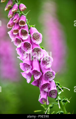 A single Foxglove stem in a garden - Stock Image