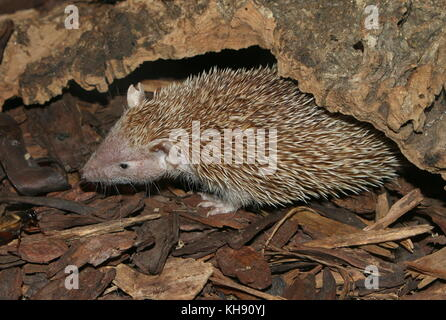 Lesser hedgehog tenrec (Echinops telfairi), found in Southern Madagascar. - Stock Image