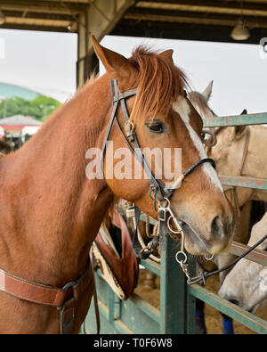 Chestnut colored rodeo horse tied to arena fence in Montgomery Alabama, USA. - Stock Image