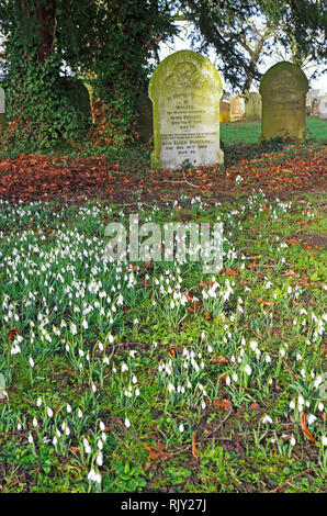A view of Snowdrops, Galanthus nivalis, among headstones in an English country churchyard at Shelton, Norfolk, England, United Kingdom, Europe. - Stock Image