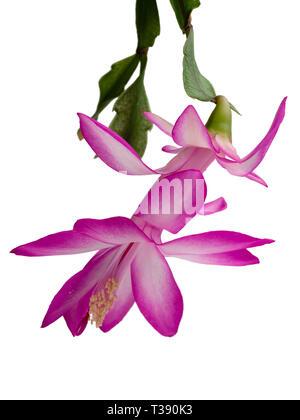Flower of the epiphytic Christmas cactus, Schlumbergera truncata, against a white background - Stock Image
