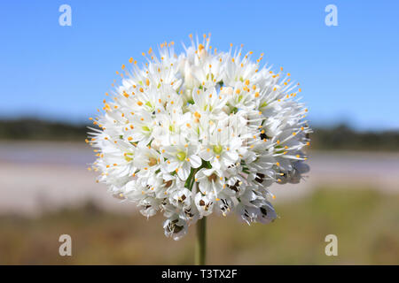 White Flower, Colonia Sant Jordi, Mallorca, Spain - Stock Image