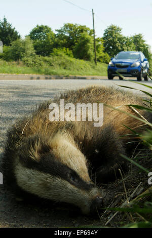 Dead Badger by roadside with blurred car - Stock Image