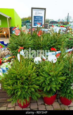 Potted Norway Spruce fir trees Picea abies in a garden centre for sale at Christmas - Stock Image