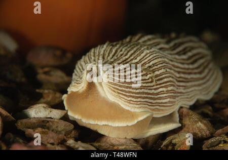 Armina californica - Stock Image