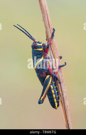 A dew-covered Eastern Lubber Grasshopper (Romalea microptera) nymph (late instar) perches on a vegetation. - Stock Image