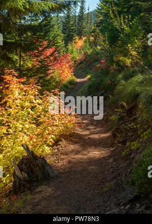 Vine Maples (Acer circinatum) in full fall color along a hiking trail in Oregon's Cascade Range. - Stock Image