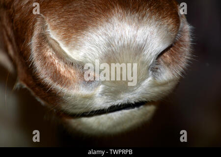 hairy caribou nose with silver shining hairs at winter time, reindeer nose with many hairs - Stock Image